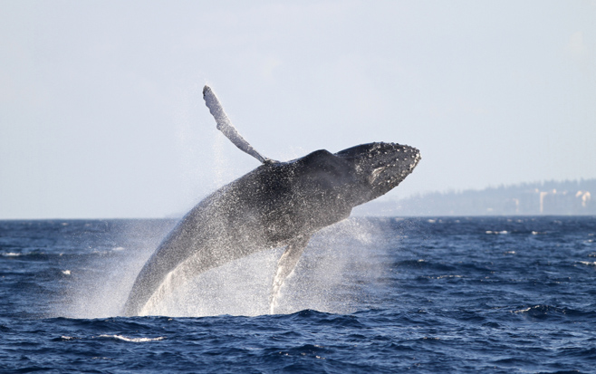 Breaching whale off Oahu coast